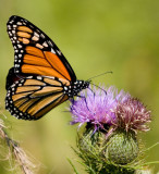 Monarch and Field Thistle