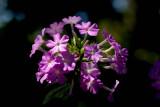 Perennial Phlox