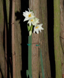 The Paperwhites blossoming