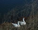 Sunning White Geese