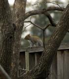 Neighborhood Squirrel