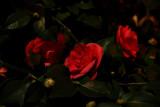 Moon lit Camellias