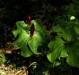 Giant Trilliums