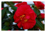 Giant Red Camellias