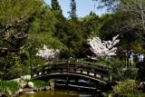 Cherry blossoms at Hakone Gardens