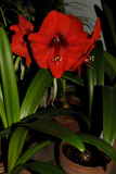 The Red Amaryllis in Full Blossom
