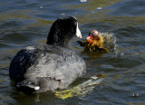 Cute Coot Chick