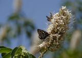 Butterflies on the blossoming California Buckeye