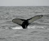 Humpback Whales Tail Fluke