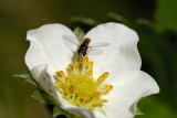 A visitor to the Strawberry blossom