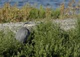Low Profile Blue Heron