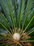 Flowering Miniature Palm Tree