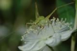 Tiny Grasshopper