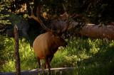 Elk at our campsite