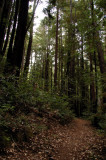 Trail under the Redwoods