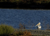 A lone White Pelican