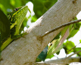 2 Cuban Knight Anoles