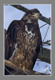 Juvenile  Eagle.jpg
