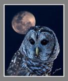 Night Owl    .jpg