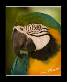 Blue Gold Parrot .jpg