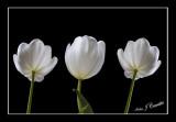 White Trio  b.jpg