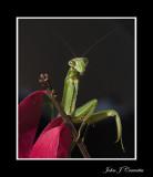 Portrait of a Praying Mantis .jpg