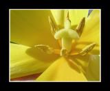 Macro Yellow Tulip .jpg