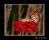 Monarch against Wheat   .jpg
