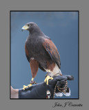 The Hawk .jpg