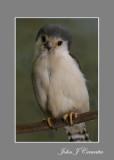 Pigmy Owl .jpg