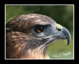 Eye of the Hawk .jpg