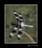 Dragon Fly .jpg