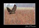 Hawk in the Prarie .jpg