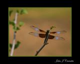 Dragon Fly on a limb .jpg