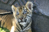 Australia Zoo Tiger Cub Encounter