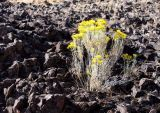 yellow on lava