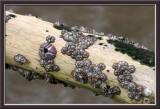barnacle colony