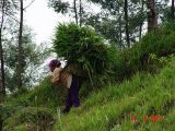 Pencari Rumput di kaki Merapi