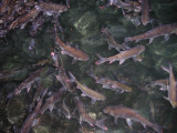 Ikan Keramat & Kalelawar di Gua Ngerong - Tuban