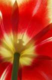flora_tulip
