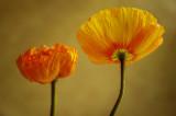 flora__poppy