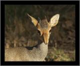 Guenther's Dik-dik Antelope