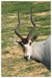 Addax Antelope #7