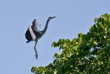 GråhägerArdea cinereaGrey Heron