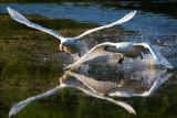 Mute Swan, Cygnus olor