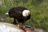 Eagle survival (kind of gross bloody)