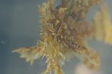 Sargassum Frog Fish