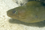 Baby Green Moray Eel