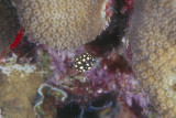 Smooth Trunkfish Juvenile