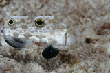 Crab Eyed Goby